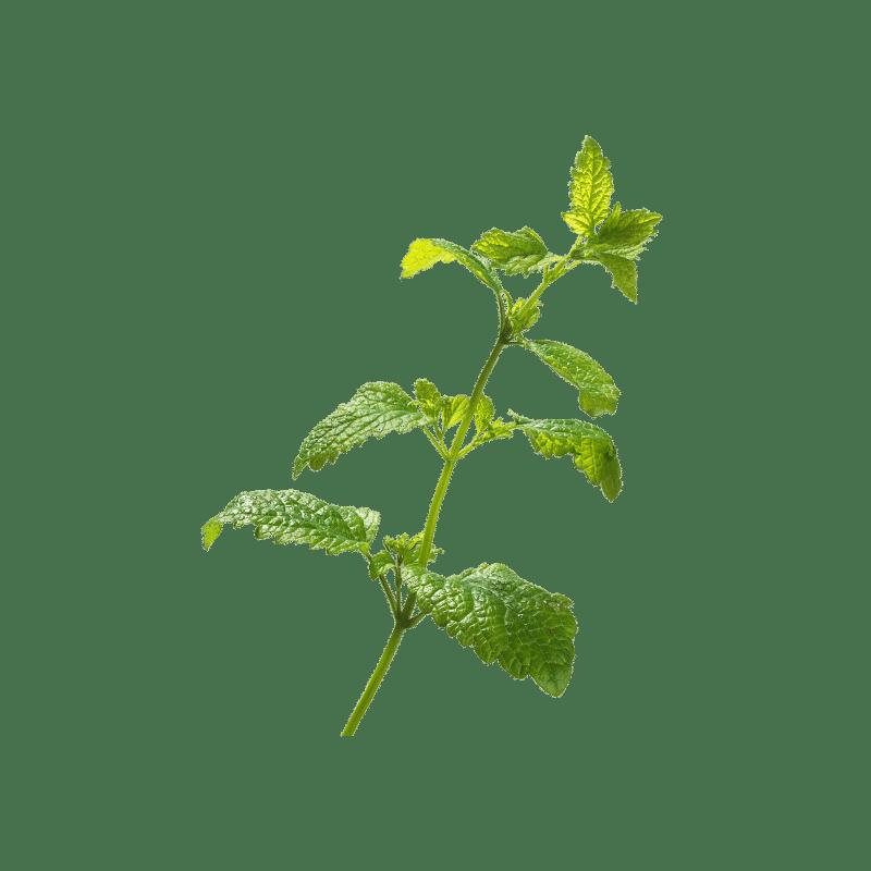 Melisa plantas