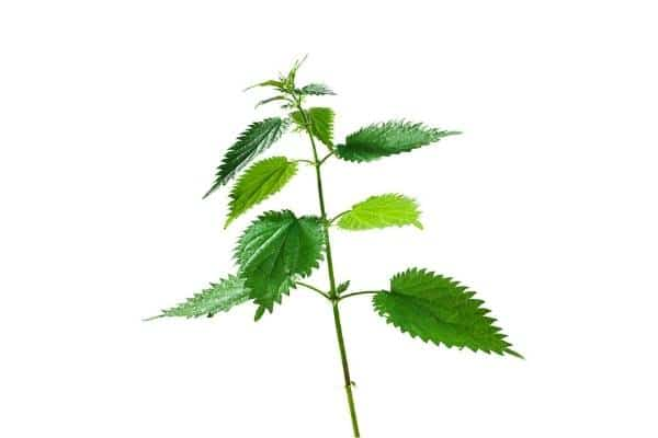 Planta ortiga